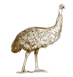 engraving ostrich Emu vector image