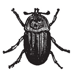 Silpha thoracica vintage vector