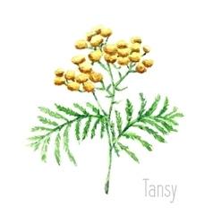 Watercolor tansy herb vector image