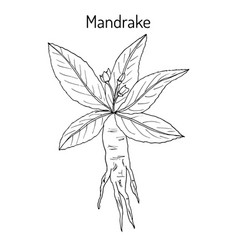 Mandrake root or mandragora officinarum vector
