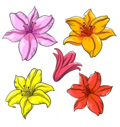Flower lily vector