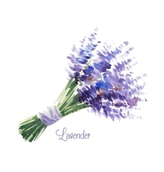 watercolor bouquet of lavender vector image