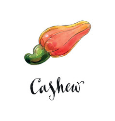 watercolor red cashew vector image