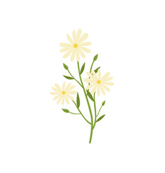 chamomile plant natural remedy for cold treatment vector image