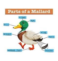 Different parts of mallard vector