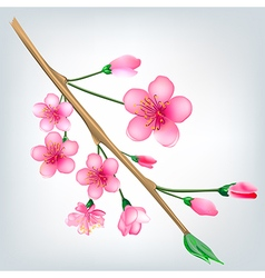 Flowered sakura japanese cherry tree vector