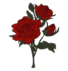 Beautiful red rose isolated on white vector image