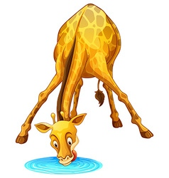 Giraffe drinking water from the puddle vector image