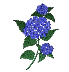 Hydrangea blue flower vector image vector image