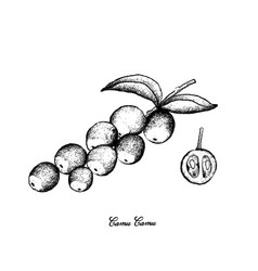 Hand drawn of camu camu fruits on white background vector