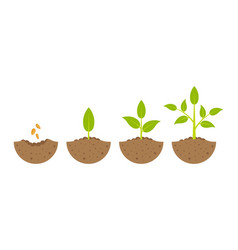 Growing plant in process on white background vector