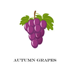 Autumn purple grapes white vector