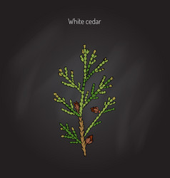 white cedar tree vector image