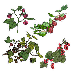 red currant black currunt raspberry gooseberry vector image