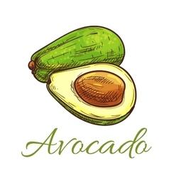 Avocado fruit sketch for healthy food design vector