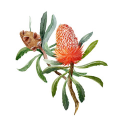 Watercolor banksia flower composition vector