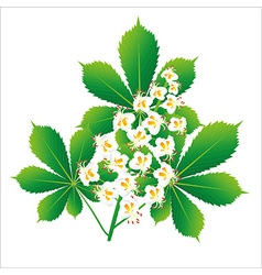 Horse chestnut flower isolated object vector image