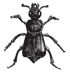 Necrophorus germanicus vintage vector