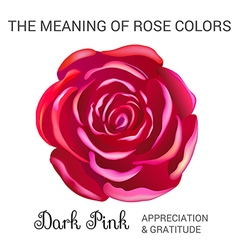 Dark pink rose infographics vector