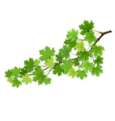 Maple branch with green leaves vector