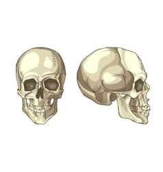 Anatomical skull vector