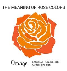 Orange rose infographics vector