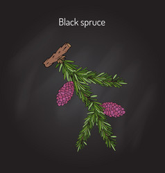 Picea mariana black spruce vector