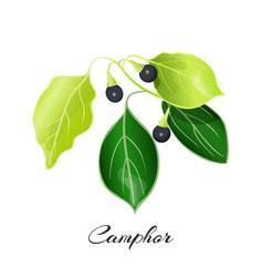 camphor laurel branch cinnamomum camphora vector image