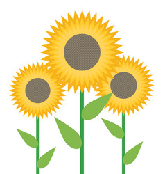 sunflowers isolated on white background vector image