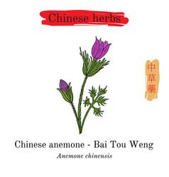 medicinal herbs of china anemone chinensis vector image