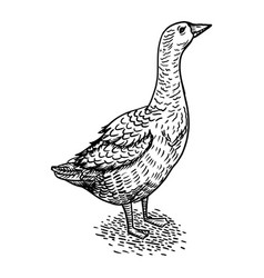 Goose bird engraving style vector