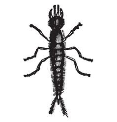 Larva of staphylinus olens vintage vector