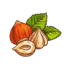 Hazelnut with green leaves sketch vector