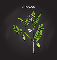 chickpea cicer arietinum or bengal gram vector image vector image