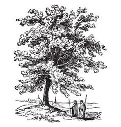 Terebinth tree vintage vector