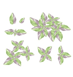 A Set of Acanthaceae Plant on White Background vector image vector image
