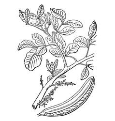 Locust tree vintage vector