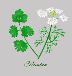 coriander or cilantro vector image vector image