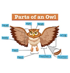 Diagram showing different part of owl vector image vector image