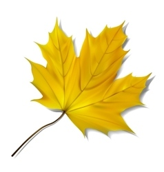 Yellow maple leaf on white background vector image vector image