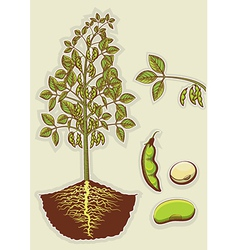 Soybean plant vector image
