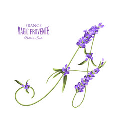 Bunch of lavender flowers on a white vector