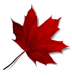 Realistic red maple leaf vector image vector image