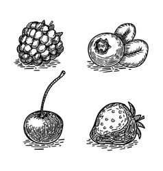 berries sketch engraving style vector image