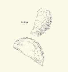 Durian king of fruit sketch vector