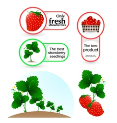 Plant of strawberry and labels vector