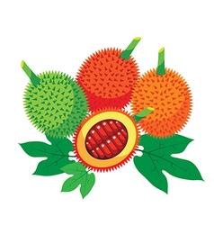 Gac fruit health benefits with leaf vector