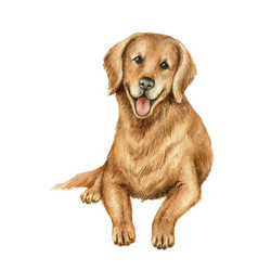 watercolor retriever isolated on white vector image