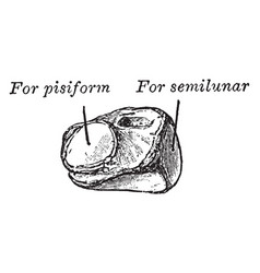 Cuneiform bone vintage vector