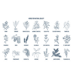 Best herbs for natural beauty vector